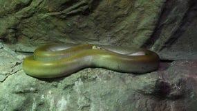 Grüne birmanische Pythonschlange auf dem Felsen lizenzfreies stockbild