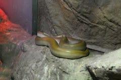 Grüne birmanische Pythonschlange auf dem Felsen lizenzfreies stockfoto