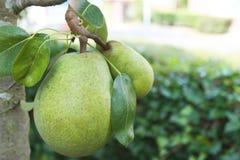 Grüne Birne auf einem Baum Stockfotografie