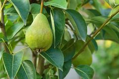 Grüne Birne in einem Baum Stockfotos