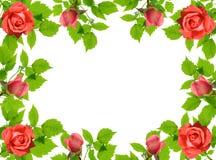 Grüne Blättchen und Rosen Stockfotos