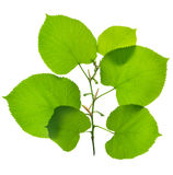 Grüne Blätter Lizenzfreie Stockbilder