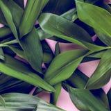Grüne Blätter auf rosa Hintergrund Flache Lage, Spitze, Ansicht, schlagkräftiger Pastell, Duoton Lizenzfreie Stockfotos