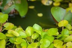 Grüne Blätter auf Wasserhintergrund Lizenzfreies Stockbild