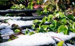 Grüne Blätter der Erdbeere bedeckt mit dem ersten weißen Schnee lizenzfreies stockfoto