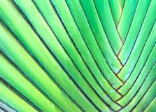 Grüne Blätter der Fan-Palme, alias des Baums des Reisenden oder des Ravenala stockfoto