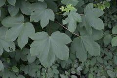 Grüne Blätter der Gartenpflanze von Acer Campestre Lizenzfreies Stockfoto