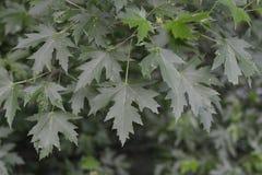 Grüne Blätter der Gartenpflanze von Acer Campestre Lizenzfreie Stockbilder