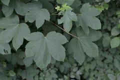 Grüne Blätter der Gartenpflanze von Acer Campestre Stockbild