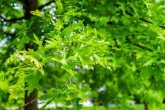 Grüne Blätter der Landschaftsgestaltung des Baums, der Eiche palustris, des Stiftes oder der spanischen Eiche des Sumpfs im Park lizenzfreies stockfoto