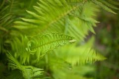Grüne Blätter des Farns Lizenzfreies Stockbild