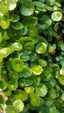 Grüne Blätter des kugelförmigen Modells Stockfotografie