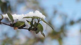 Grüne Blätter einer Anlage unter dem Schnee gegen einen blauen Himmel stock footage