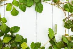 Grüne Blätter einer Kriechpflanze auf einem weißen hölzernen Hintergrund, Raum für Text lizenzfreies stockfoto