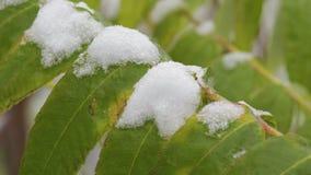 Grüne Blätter eines Baums im Schnee, Nahaufnahme stock footage