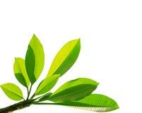 Grüne Blätter getrennt Stockfotos