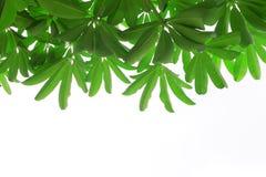 Grüne Blätter getrennt Stockfotografie