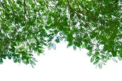 Grüne Blätter getrennt auf Weiß Stockfotos