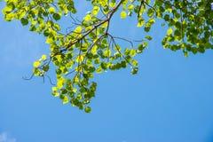 Grüne Blätter im blauen Himmel Lizenzfreie Stockfotografie