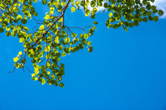 Grüne Blätter im blauen Himmel Stockbilder