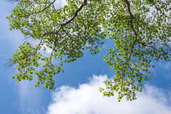 Grüne Blätter im blauen Himmel Lizenzfreies Stockfoto