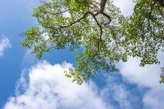 Grüne Blätter im blauen Himmel Stockfotografie