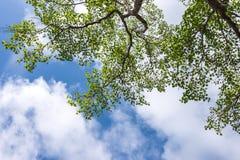 Grüne Blätter im blauen Himmel Stockfotos