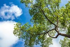 Grüne Blätter im blauen Himmel Lizenzfreie Stockfotos