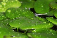 Grüne Blätter im Wasser Lizenzfreies Stockfoto