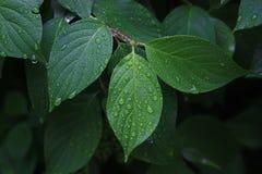 Grüne Blätter mit Tautropfen auf einem dunkelgrünen Hintergrund lizenzfreie stockfotos