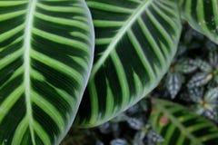 Grüne Blätter mit weißen Strukturen in einer exotischen Dschungeleinstellung stockfotografie