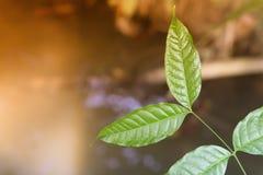 Grüne Blätter am Sonnenaufgangfrühlingsnatur-Tapetenhintergrund stockbilder