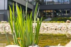 Grüne Blätter in Teich Natur nahe Geschäftsgebäude Lizenzfreie Stockfotografie