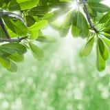 Grüne Blätter und Sonnelichtstrahlen. Stockbilder