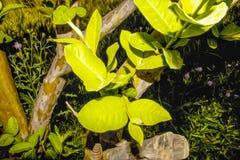 Grüne Blätter von der Niederlassung oder vom Stamm der Guave, dieses Foto ist eine Fotowirksamkeit verliehen worden, zum es einem stockfotografie