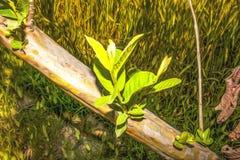 Grüne Blätter von der Niederlassung oder vom Stamm der Guave, dieses Foto ist eine Fotowirksamkeit verliehen worden, zum es einem stockfotos