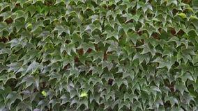 Grüne Blätter von wilden Trauben am windigen Tag Nat?rlicher Hintergrund stock footage