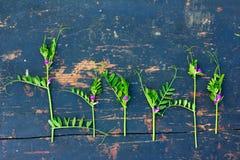 Grüne blühende Zweige von wilden Erbsen mit kleinen purpurroten Blumen auf einem alten schwarzen hölzernen Brett mit Sprung Lizenzfreies Stockfoto