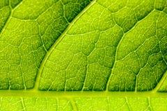 Grüne Blatt-Beschaffenheit mit den sichtbaren Stomata, welche die Epidermis-Schicht umfassen lizenzfreies stockfoto