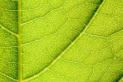 Grüne Blatt-Beschaffenheit mit den sichtbaren Stomata, welche die Epidermis-Schicht umfassen lizenzfreies stockbild