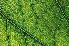 Grüne Blatt-Beschaffenheit mit den sichtbaren Stomata, welche die Epidermis-Schicht umfassen lizenzfreie stockfotografie