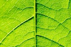 Grüne Blatt-Beschaffenheit mit den sichtbaren Stomata, welche die Epidermis-Schicht umfassen lizenzfreie stockfotos