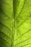 Grüne Blatt-Nahaufnahme Stockfotografie