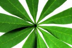 Grüne Blattader Stockbilder
