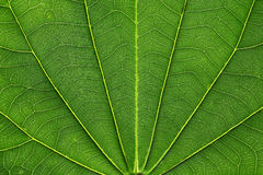 Grüne Blattader Lizenzfreies Stockbild