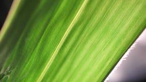 Grüne Blattanalyse stock video