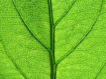 Grüne Blattbeschaffenheit Stockfotografie