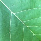 Grüne Blattbeschaffenheit Lizenzfreie Stockfotografie