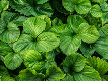 Grüne Blattbeschaffenheit Stockfoto