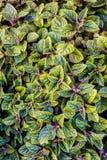 Grüne Blattbeschaffenheit Blattbeschaffenheitshintergrund Stockbild